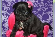 True Type Classic Pug Puppies for Sale
