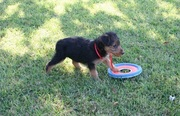 Airedale Terrier Puppies For Sale Now