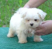LOVELY AND CUTE Maltese Puppies For Free Adoption