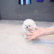 Stunning,  miniature White Pom  07031956739