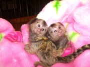 NERE Adorable Twin Pygmy Marmoset and Capuchin 07031957695