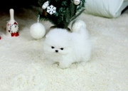 NCCFX friendly,  and charming sociable Pomeranian 07031956739