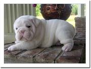 Female Bull dog puppy
