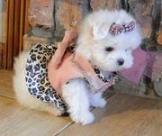 Two Lovely Maltese Puppies For Caring Home Now