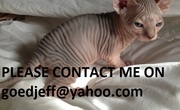Beautiful Red Sphynx kittens for pet homes only